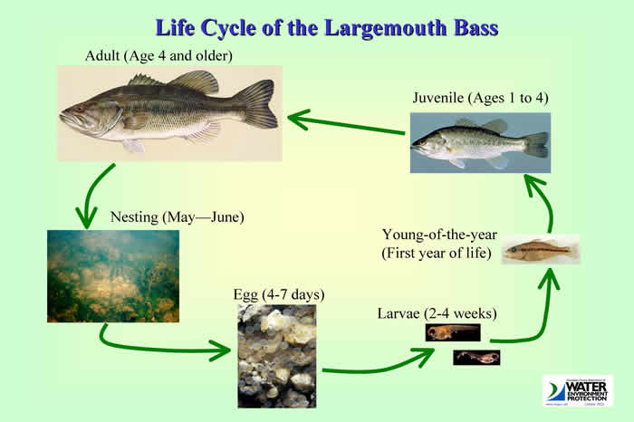 Largemouth Bass Life Cycle